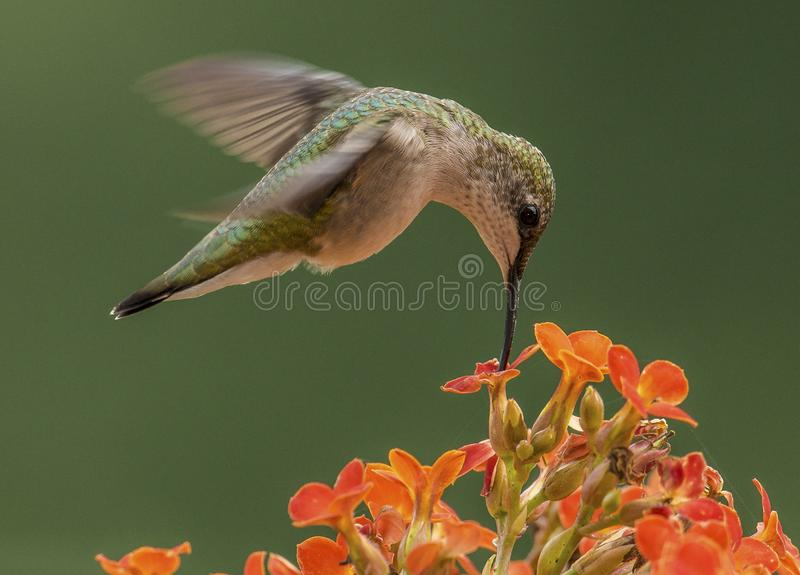 Hummingbird feeding on orange flowers. A Ruby-throated Hummingbird hovering over and feeding on orange flowers during spring in Pennsylvania