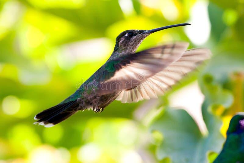 Hummingbird in flight. Hummingbird captured in full flight royalty free stock photo