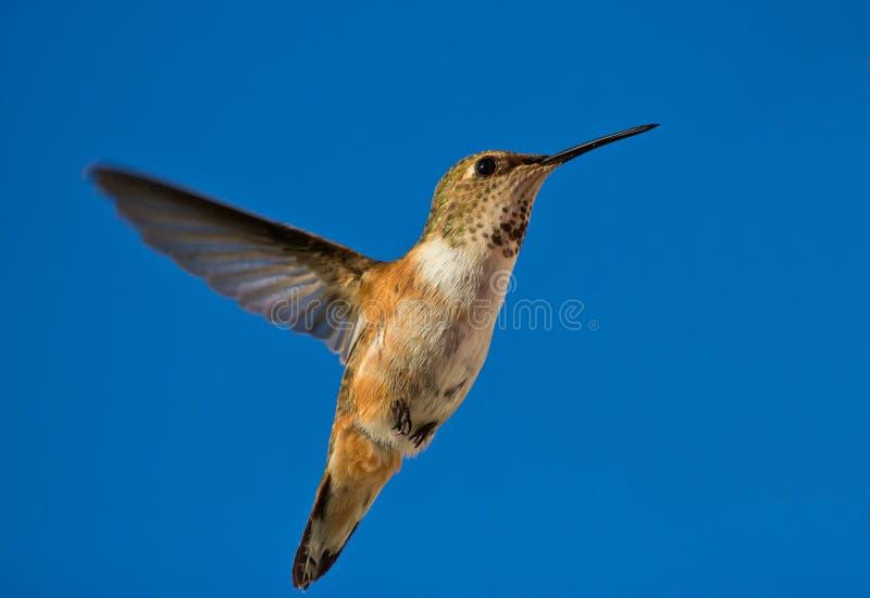 Download Hummingbird In Flight Stock Images - Image: 24765674