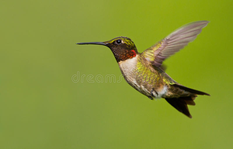 Download Hummingbird in flight stock image. Image of spring, animal - 25092907