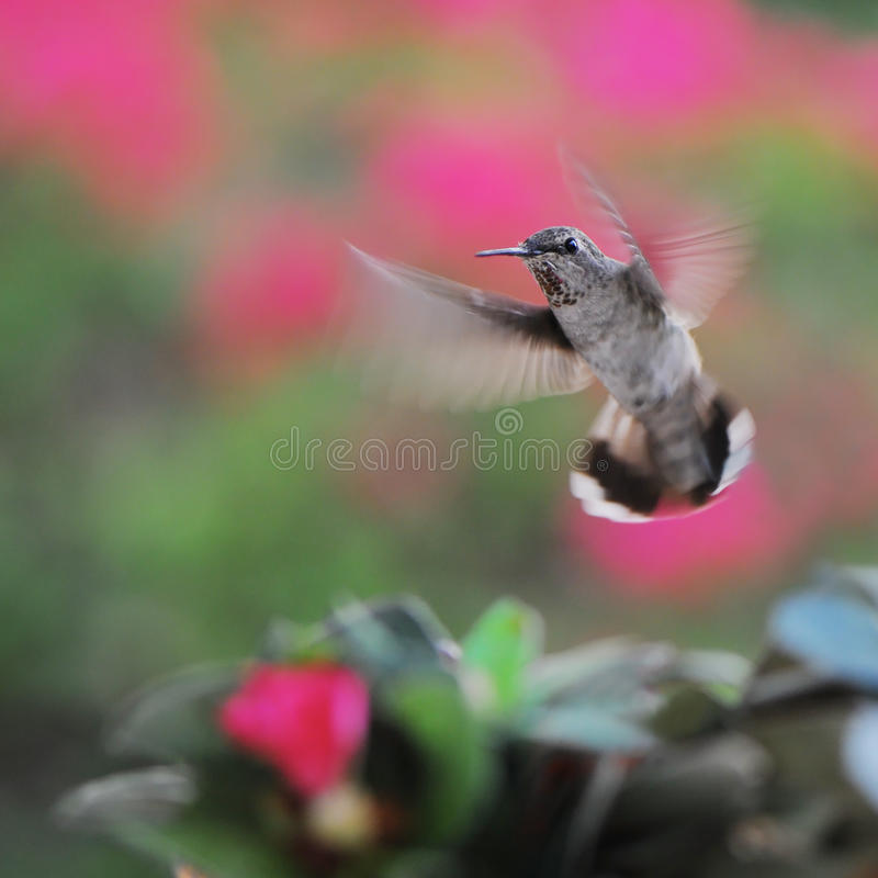 Download Hummingbird in flight stock image. Image of nature, hovering - 26477837