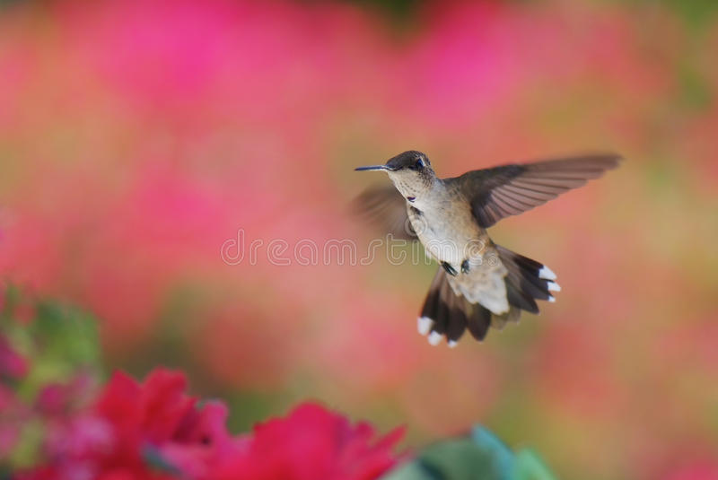 Download Hummingbird in flight stock photo. Image of green, bougainvillea - 26477848