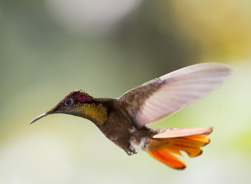Hummingbird in flight royalty free stock photos