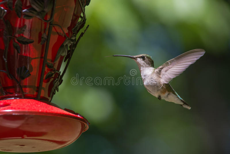 Download Hummingbird in flight stock photo. Image of small, throated - 54656868