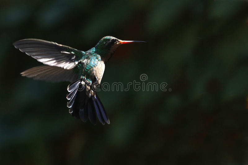 Hummingbird in flight. Small bird flying fast and sudden movements stock images