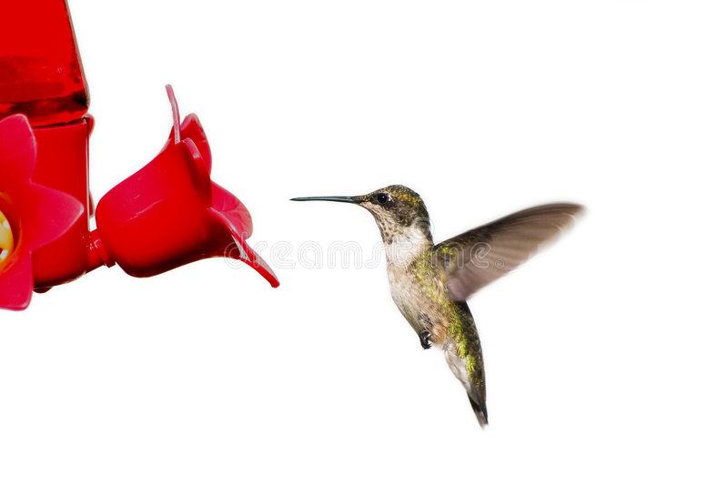 Hummingbird floats at feeder royalty free stock photos