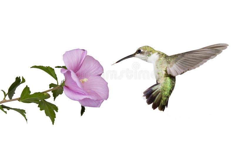 Hummingbird floats under a butterfly bush stock images