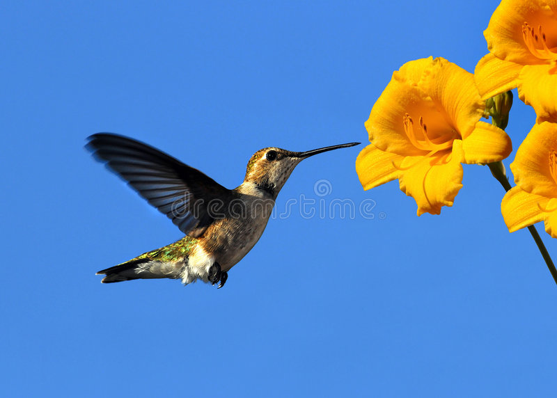 Hummingbird and flower. A hummingbird flies in towards a yellow flower after the nectar