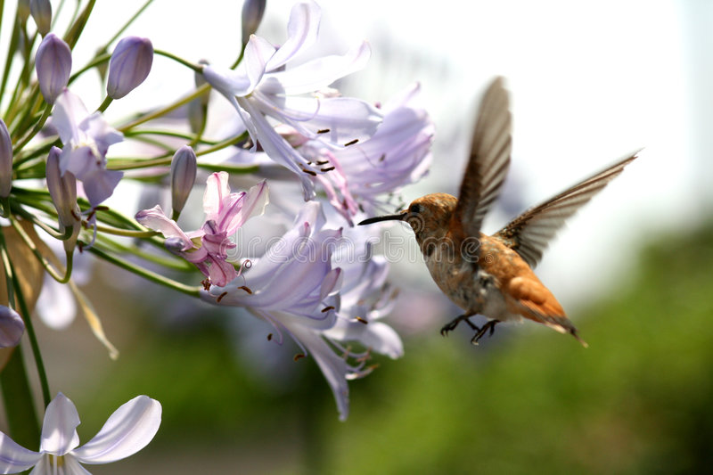 Hummingbird with flower. Details of hummingbird hovering by colorful agapanthus flower to get nectar stock photography