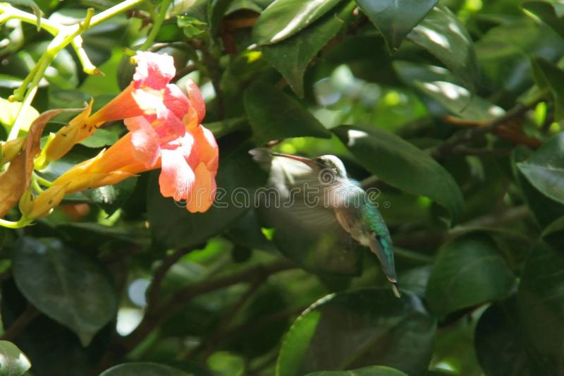 Hummingbird with flower from argentina stock images