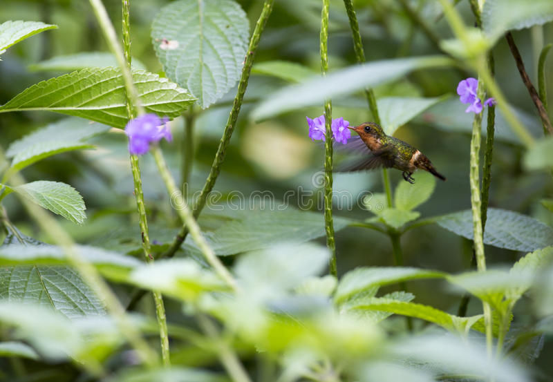Hummingbird and flower royalty free stock image
