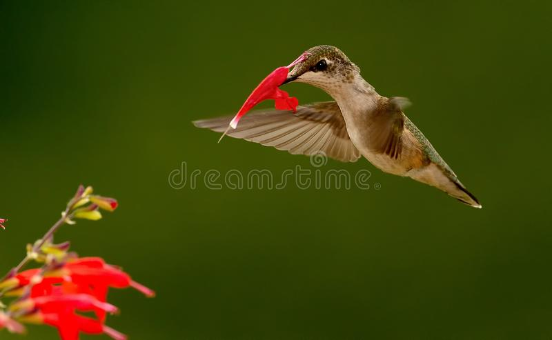 Hummingbird with flower stuck on her bill. A Hummingbird was feeding or sipping on the red flowers. When she backed out the flower pulled from the plant and go royalty free stock photography