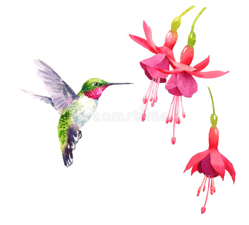 Hummingbird flying around Flowers Watercolor Bird Illustration Hand Drawn stock illustration