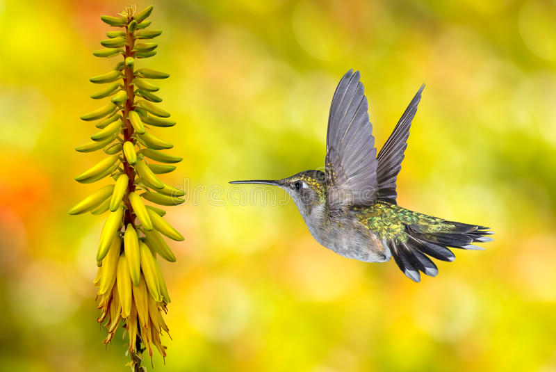 Hummingbird Flying over Yellow Background. Hummingbird (archilochus colubris) in flight with tropical flower over yellow background royalty free stock images