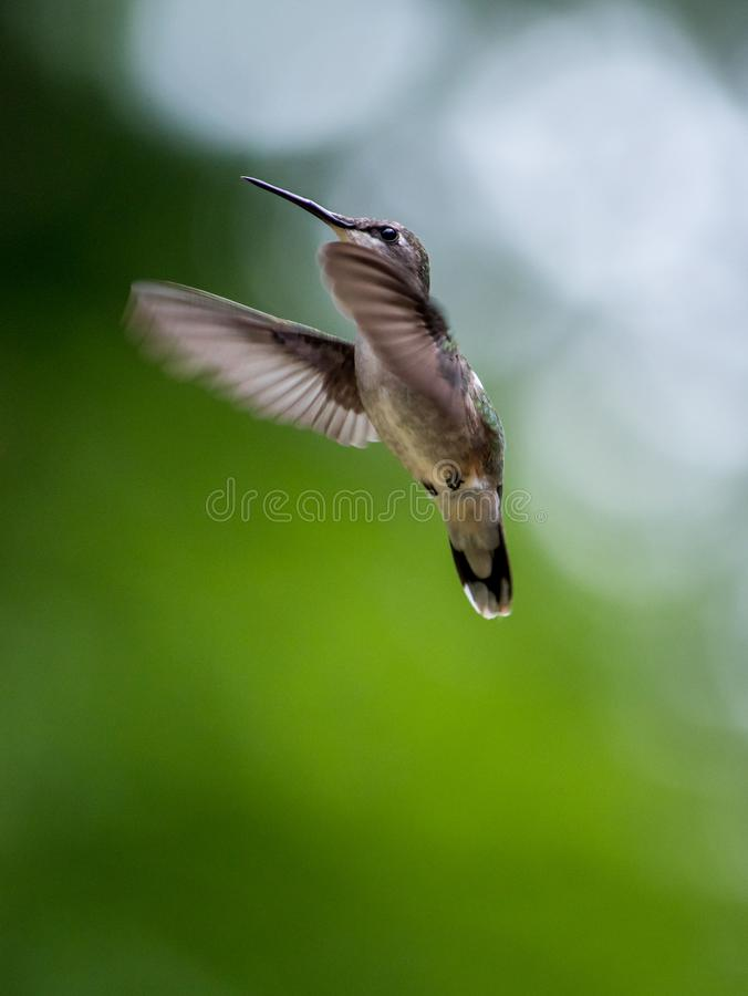 Hummingbird flying up into the sky stock photography