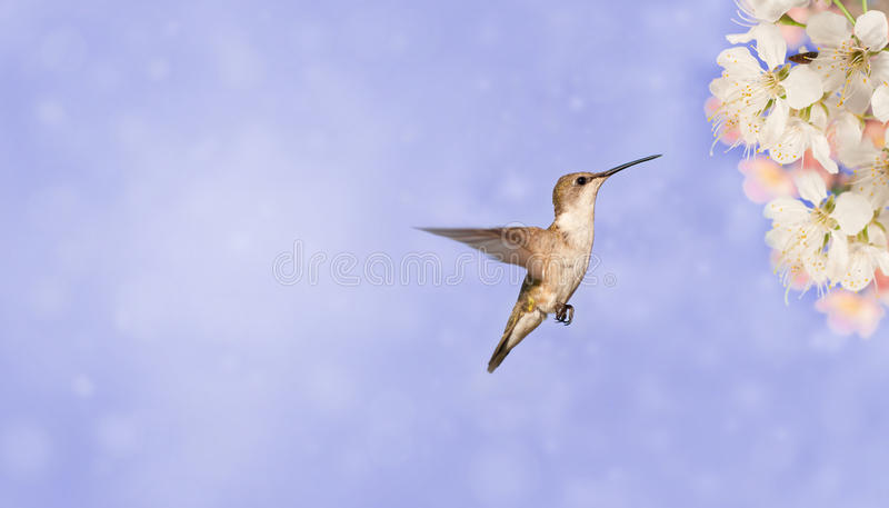 Hummingbird getting ready to feed on spring flowe stock photo