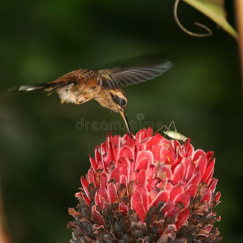 Hummingbird and a grasshopper stock photos