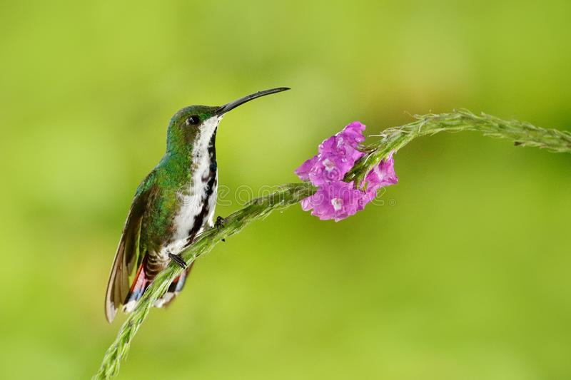 Hummingbird Green-breasted Mango sitting on pink flower. Wild tropic bird in the nature habitat, wildlife, Costa rica. Pink bloom.  stock image