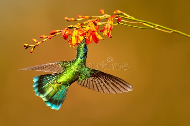 Hummingbird Green Violet-ear, Colibri thalassinus, drinks nectar stock image