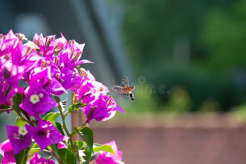 Hummingbird hawk moth collecting nectar. At a bougainvillea plant royalty free stock photography