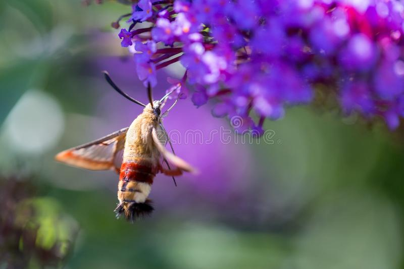 A hummingbird hawk-moth on a flower from the side royalty free stock photography