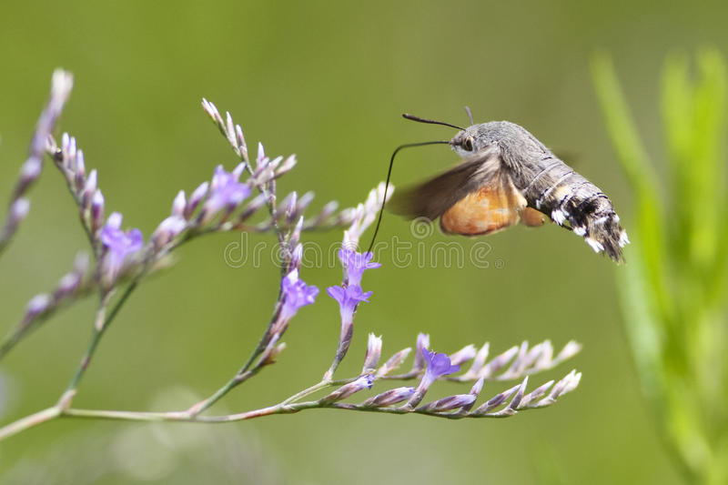Hummingbird hawk-moth hovering over a flower royalty free stock photo