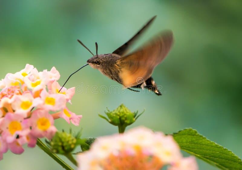 Hummingbird hawk-moth hovering over lantana flower stock images