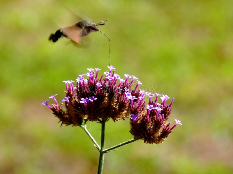 Hummingbird hawk-moth hovering over purple fall flower. Hummingbird hawk-moth presented in motion blur with fast moving wings hovering over purple harden flower stock photos