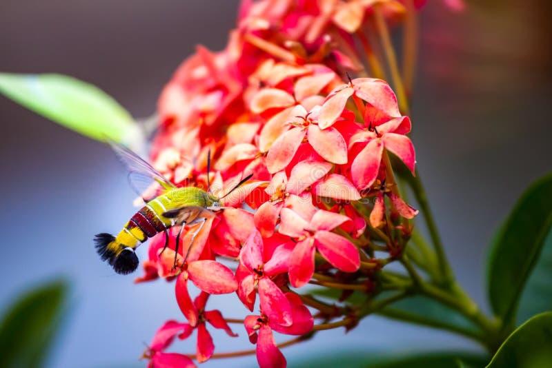 Hummingbird hawk-moth hovering over and sucking nectar stock photo