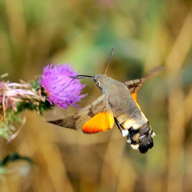 Download Hummingbird Hawk-moth (Macr Stock Image - Image of stellatarum, hummingbird: 10293509