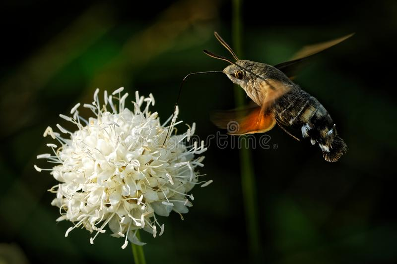 Hummingbird hawk-moth - Macroglossum stellatarum feeding on the flower in Spain, Europe stock images