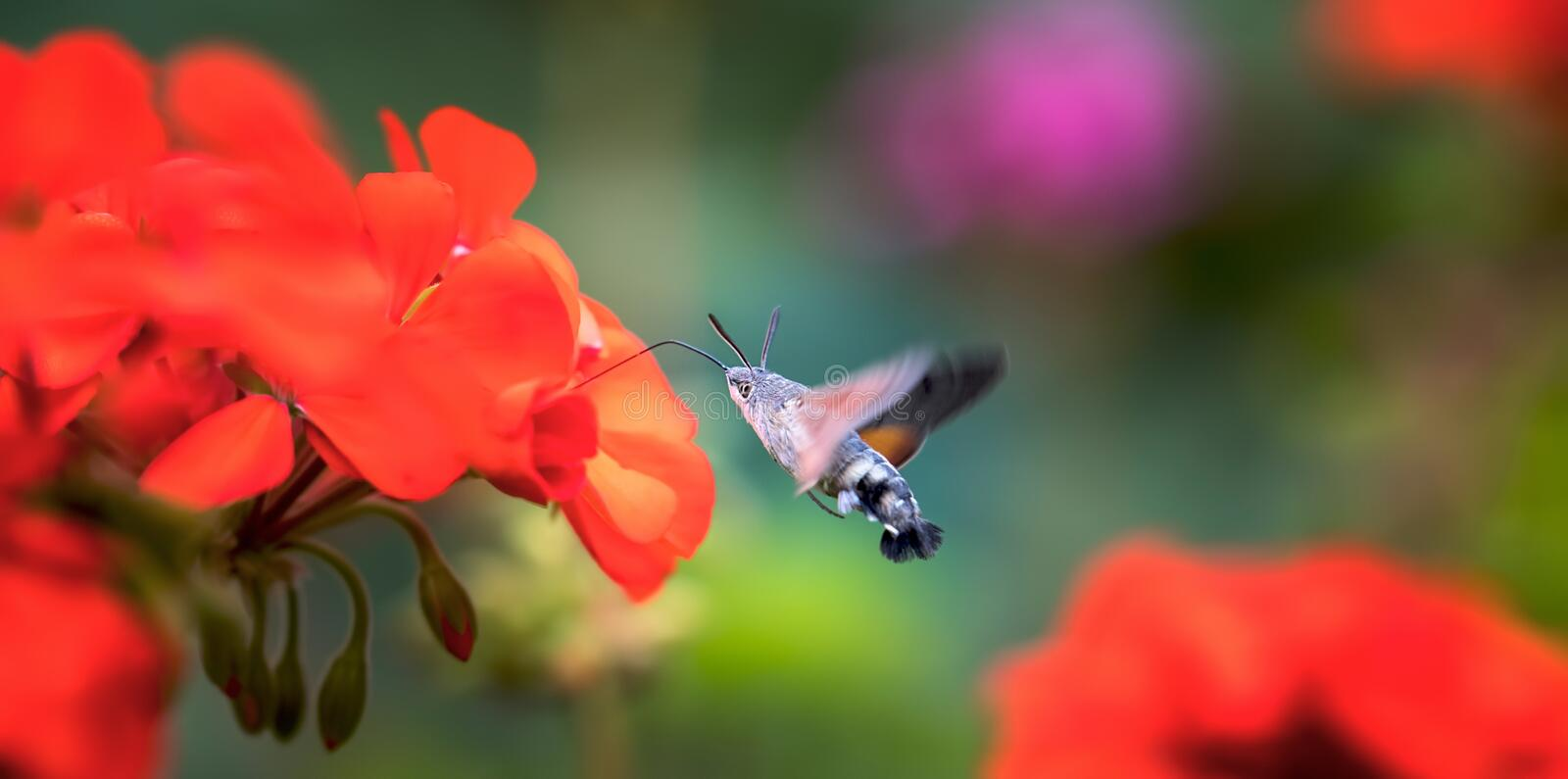 An hummingbird hawk-moth Macroglossum stellatarum feeding nectar from woolly thistle flower. The best photo stock images