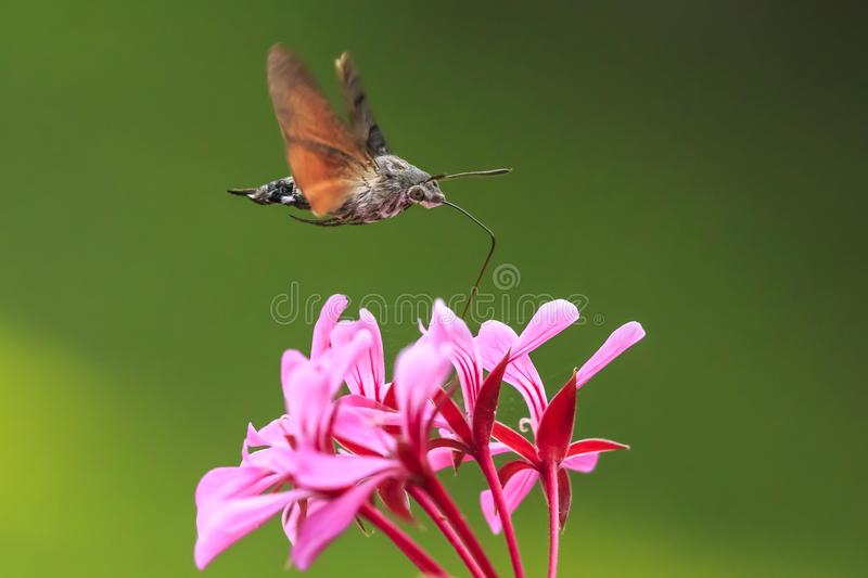 Hummingbird hawk-moth Macroglossum stellatarum feeding on pink f. Side view of a hummingbird hawk-moth Macroglossum stellatarum feeding on a pink flower in a royalty free stock images