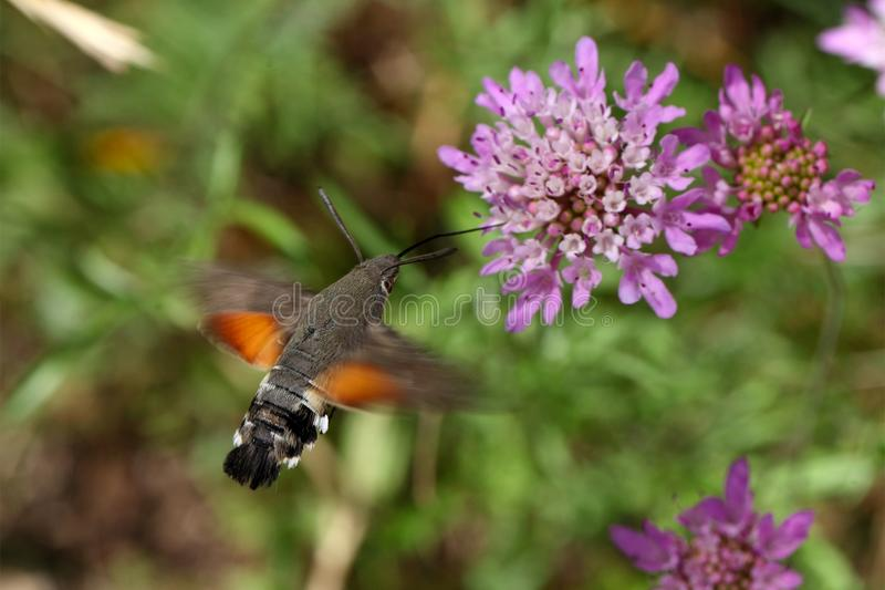 Hummingbird hawk-moth (Macroglossum stellatarum). A hummingbird hawk-moth (Macroglossum stellatarum) flying and drinking on a flower royalty free stock photos