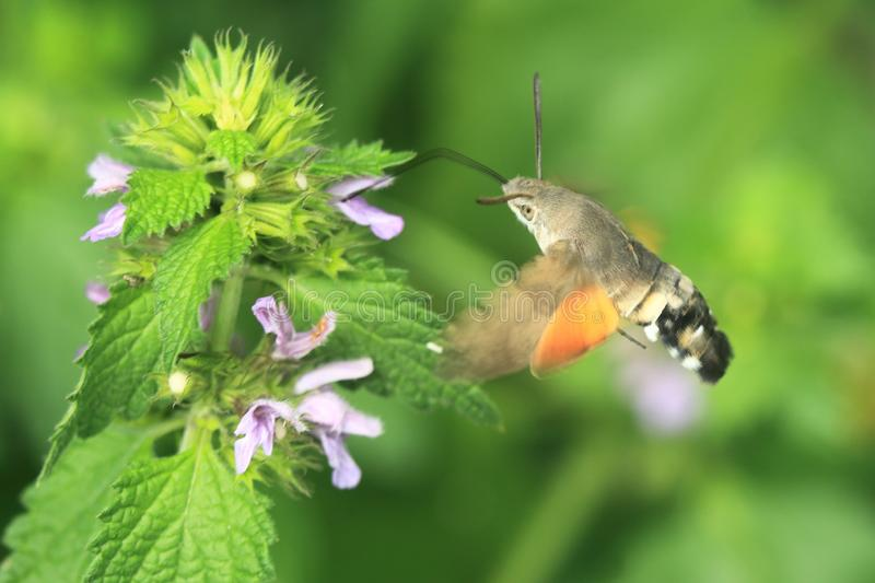 Hummingbird hawk-moth. Sucking the nectar from a urcita plant stock image