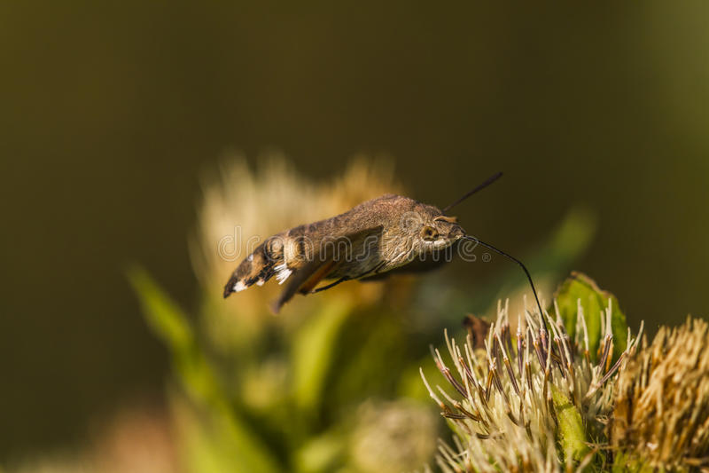 Hummingbird hawkmoth (Macroglossum stellatarum) zdjęcia stock