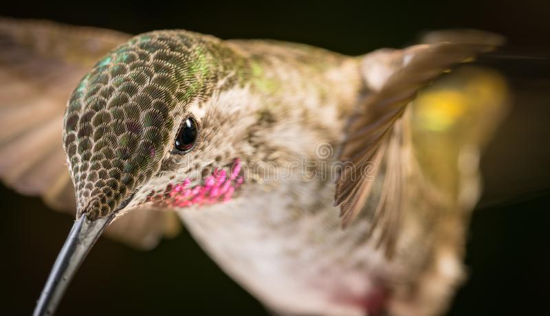 Hummingbird head shot. This is a photograph of a hummingbird`s head shot royalty free stock images