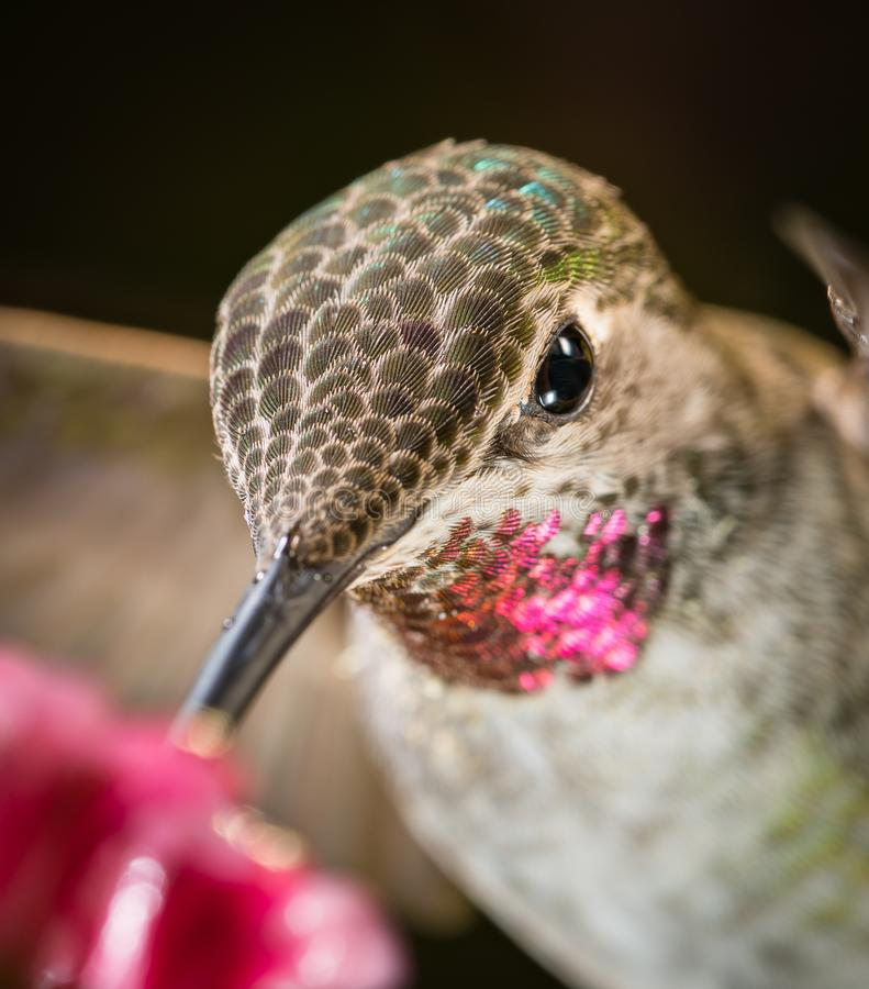 Hummingbird head shot with pink reflective feathers. This is a photograph of a hummingbird`s head shot with pink reflective feathers royalty free stock photo