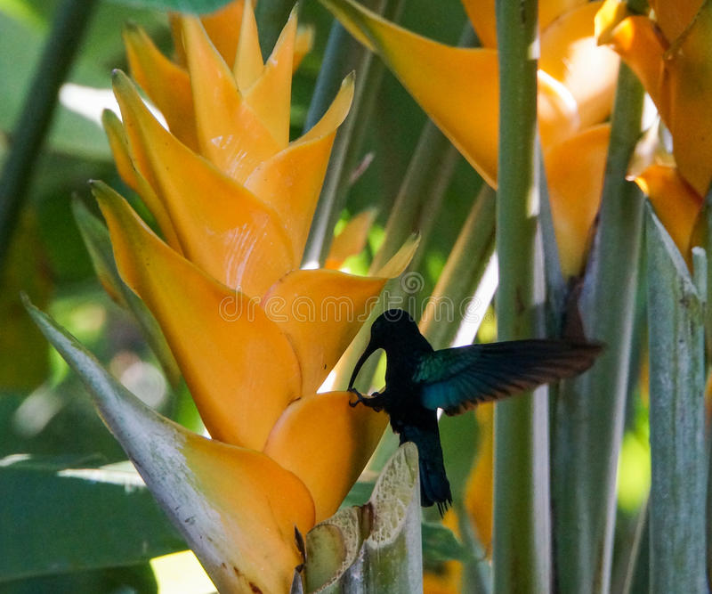 Hummingbird on Heliconia in Guadeloupe. Colibri - Hummingbird on Heliconia Caribaea, Jardin Botanique de Deshaies, Guadeloupe, France stock photos