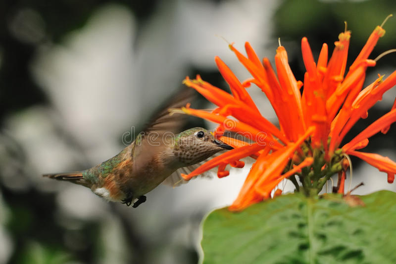 A hummingbird hovering. Over an orange flower stock photos