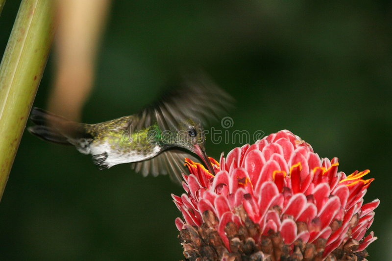 Hummingbird hovering 2. Hummingbird hovering over red flower (Henri Pittier National Park, Venezuela royalty free stock photos