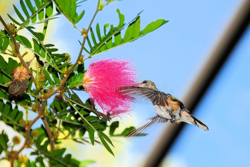 Download Hummingbird Hovering stock image. Image of south, iridescent - 24345863