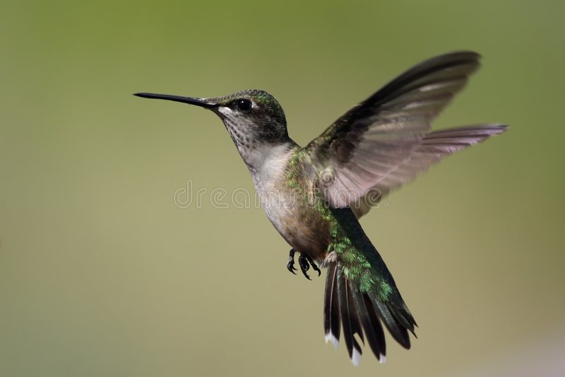 Hummingbird hovering. A Hummingbird hovering near the feeder stock images