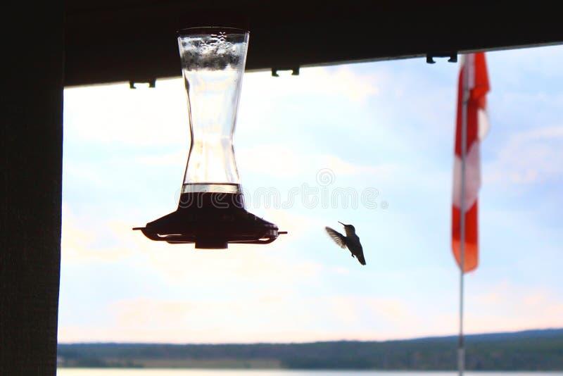 Hummingbird 2 royalty free stock photo