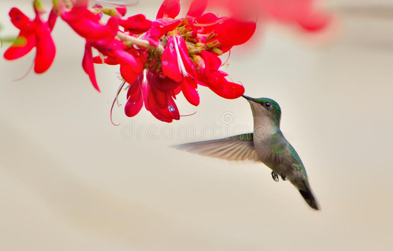 HUMMINGBIRD HOVERING. Cabrits national park. Dominica island stock photos
