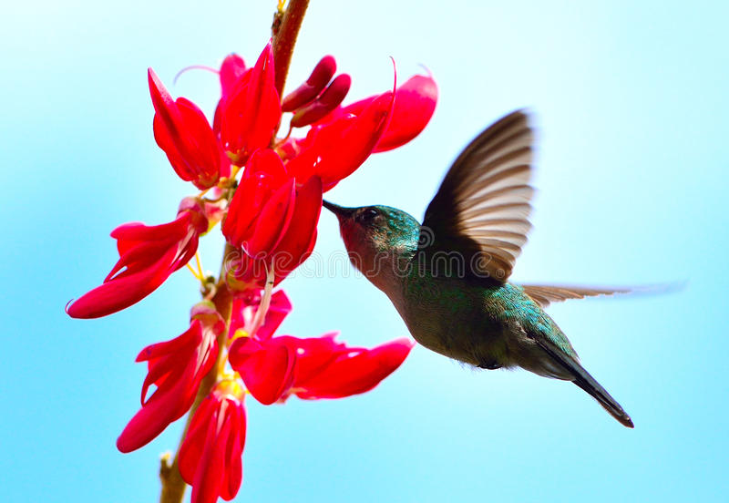 HUMMINGBIRD HOVERING. Cabrits national park. Dominica island royalty free stock image