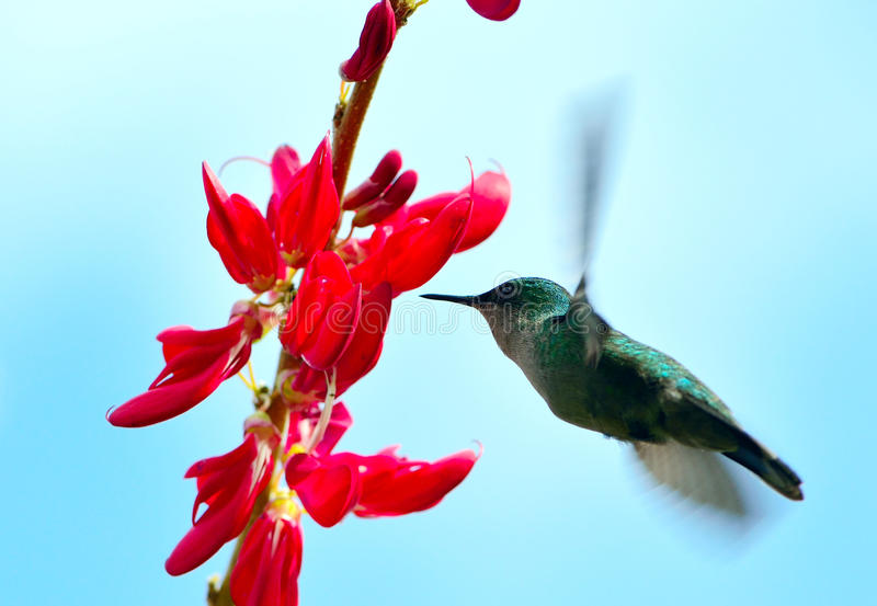 HUMMINGBIRD HOVERING. Cabrits national park. Dominica island stock photography