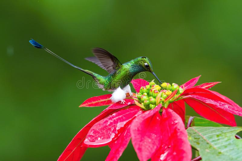 The Hummingbird is hovering and drinking the nectar from the beautiful flower royalty free stock photography
