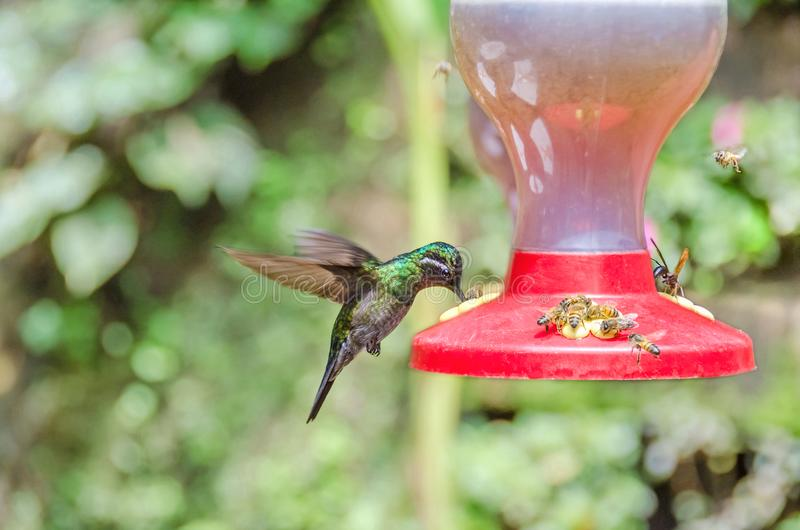 Hummingbird hovering at the feeder surrounded by bees and wasps. Hummingbird probably garden emerald hovering with the rapid wing-flapping at the feeder stock image