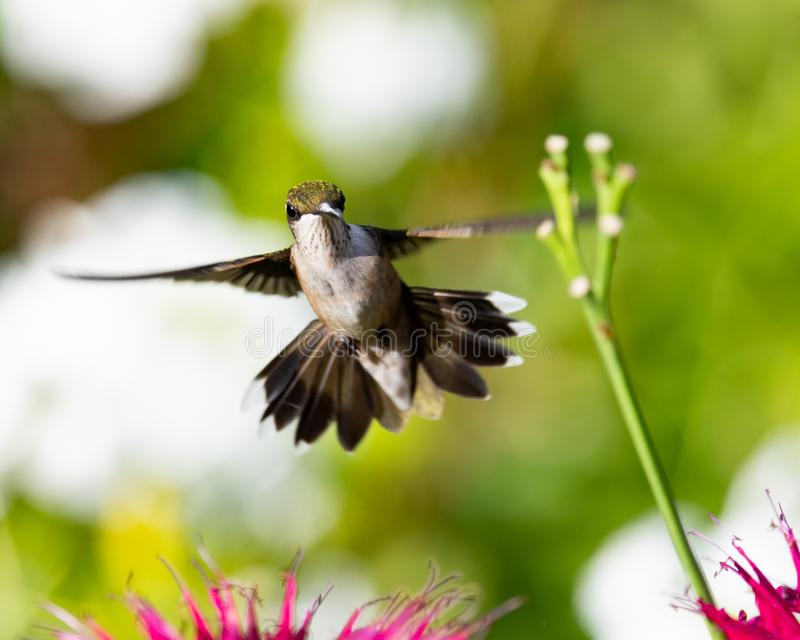 A hummingbird hovering in a garden. An immature male ruby throated hummingbird hovering over red bee balm flowers in a garden stock images